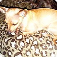 Adopt A Pet :: Bambi - Justin, TX