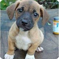 Adopt A Pet :: Bandito - Allentown, PA