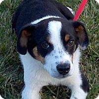 Adopt A Pet :: Bocephus - Brattleboro, VT