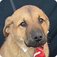 Adopt A Pet :: Ben Affleck - Plano, TX