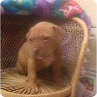 Adopt A Pet :: Staffordshire pup 4 - Alliance, NE