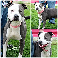 Adopt A Pet :: Harley - Evansville, IN
