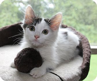 Domestic Mediumhair Kitten for adoption in Huntsville, Alabama - Ace Kitty