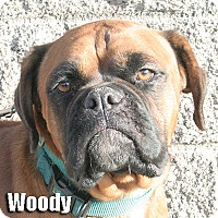 Adopt A Pet :: Woody - Encino, CA