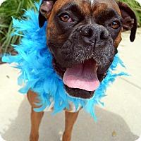 Adopt A Pet :: Brindie-Adoption pending - Bridgeton, MO