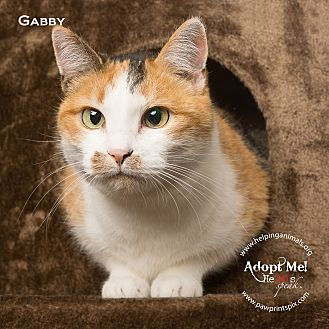 Domestic Shorthair Cat for adoption in St. Charles, Illinois - Gabby