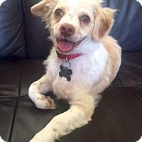 Adopt A Pet :: Huey - Mission Viejo, CA