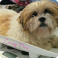 Adopt A Pet :: Candy Floss - House Springs, MO