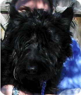 Scottie, Scottish Terrier Dog for adoption in Wakefield, Massachusetts - Scottie