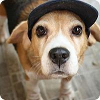 Adopt A Pet :: 'MISS BEE' - Agoura Hills, CA