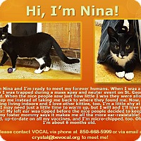 Domestic Shorthair Cat for adoption in Tallahassee, Florida - Nina