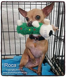 Chihuahua Dog for adoption in Simi Valley, California - Roca