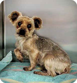 Yorkie, Yorkshire Terrier Dog for adoption in Newark, Delaware - Finley
