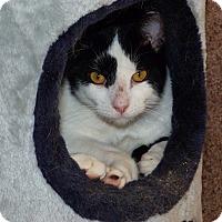 Domestic Mediumhair Cat for adoption in Stafford, Virginia - Mr. Donald