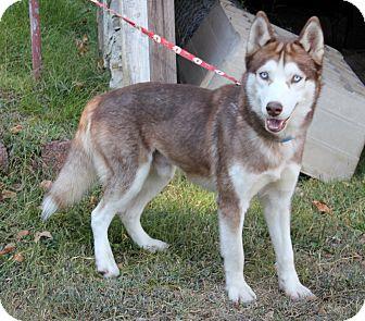 Husky Dog for adoption in Dalton, Georgia - Chico