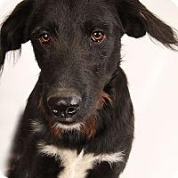 Adopt A Pet :: Jasper Wire Labcur - St. Louis, MO