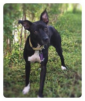 Terrier (Unknown Type, Small) Mix Puppy for adoption in Loxahatchee, Florida - Bumble Bee