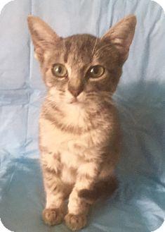 Domestic Shorthair Kitten for adoption in pasadena, California - TONY