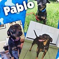 Adopt A Pet :: Pablo - Fenton, MO