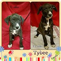 Adopt A Pet :: Tybee-pending adoption - Manchester, CT