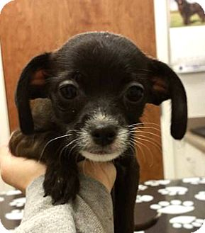 Poodle (Toy or Tea Cup) Mix Puppy for adoption in Tijeras, New Mexico - Jasmin