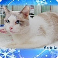 Siamese Cat for adoption in Hillside, Illinois - Arrieta - New