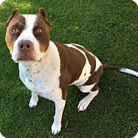 Adopt A Pet :: Handsome Einstein-URGENT - Los Angeles, CA