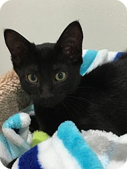 Domestic Shorthair Cat for adoption in Lakewood, California - HOLLY
