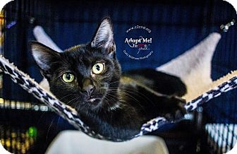 Domestic Shorthair Kitten for adoption in Mooresville, North Carolina - A..  Dagan