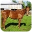 Photo 1 - Thoroughbred for adoption in Old Fort, North Carolina - Penelope