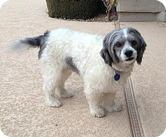 Lhasa Apso Mix Dog for adoption in Phoenix, Arizona - Benson