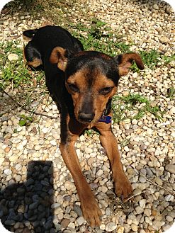 Miniature Pinscher Dog for adoption in Manhasset, New York - King
