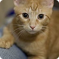 Adopt A Pet :: Pounce - Chicago, IL