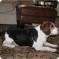 Adopt A Pet :: Boondock - Phoenix, AZ