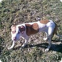 Adopt A Pet :: Pippa - Lima, OH