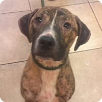 Adopt A Pet :: Charlie Brown - Williston, FL