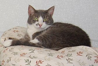 Domestic Shorthair Cat for adoption in Brainardsville, New York - Betty
