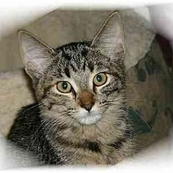 Photo 1 - Domestic Shorthair Cat for adoption in Montgomery, Illinois - Betsy