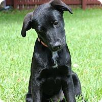 Labrador Retriever Mix Puppy for adoption in Austin, Texas - Daisy