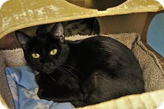 Domestic Shorthair Cat for adoption in West Des Moines, Iowa - Alex