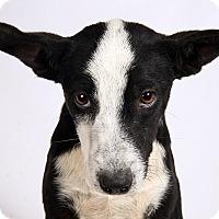 Adopt A Pet :: Kara HeelerShep - St. Louis, MO