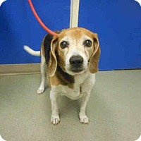 Beagle Dog for adoption in Pueblo, Colorado - SWEETIE