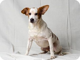 Basset Hound Mix Dog for adoption in Tulsa, Oklahoma - Tommy