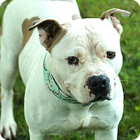 Pit Bull Terrier Mix Dog for adoption in Lafayette, Indiana - Peaches