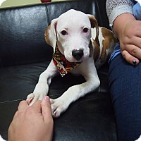 Pit Bull Terrier Mix Puppy for adoption in Philadelphia, Pennsylvania - Lolly