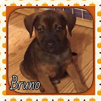 Pug/Chihuahua Mix Puppy for adoption in Genoa City, Wisconsin - Bruno