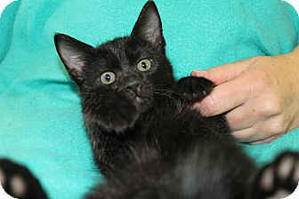 Domestic Shorthair Kitten for adoption in Wichita Falls, Texas - Merriweather