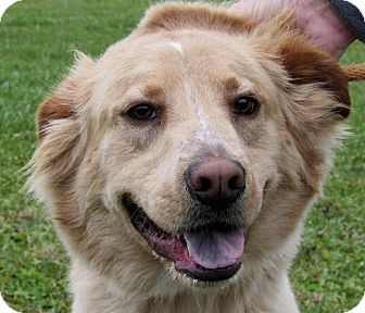 Golden Retriever Mix Dog for adoption in Grinnell, Iowa - Buddy