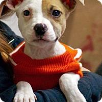 Adopt A Pet :: Maci - Troy, MI