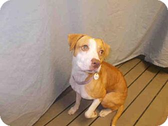 Beagle/Labrador Retriever Mix Dog for adoption in Upper Marlboro, Maryland - *RAYLIN